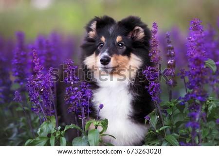 adorable sheltie puppy portrait ...