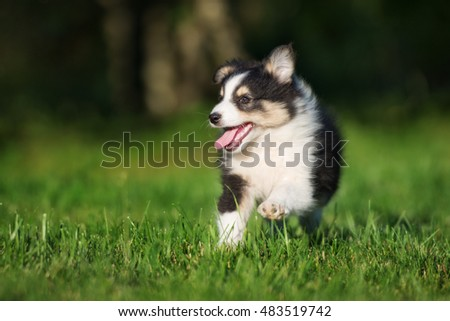 adorable sheltie puppy walking outdoors #483519742