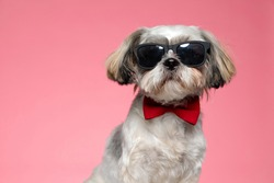adorable shih tzu dog wearing sunglasses and red bowtie, sitting on pink background