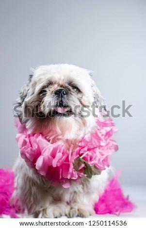 Adorable shih tzu dressed up in pink gets his professional portrait taken