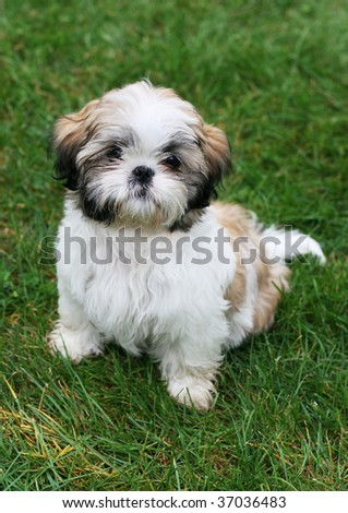 adorable shitzu puppy sitting on grass