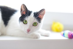 adorable shorthair black and white kitten with green eyes lying on windowsill