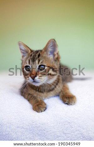 adorable shorthair gray tabby kitten lying on soft blanket #190345949
