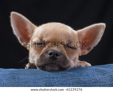 Adorable sleeping chihuahua puppy close-up on black with blue jeans background - stock photo