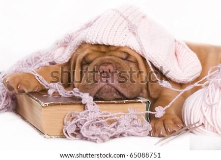 adorable sleeping dogue de bordeaux puppy