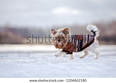 adorable small dog walking outdoors in a coat in winter