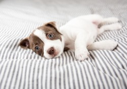 Adorable Small Terrier Mix Puppy Relaxing on Striped Bed