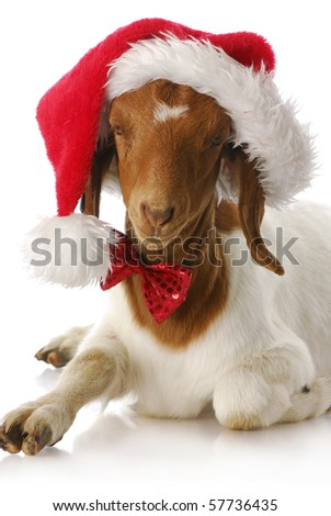 adorable south african boer goat wearing santa hat and bow tie
