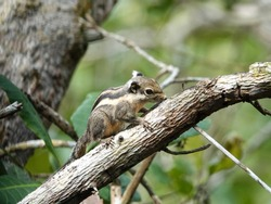 Adorable Squirrel climbing on a tree branch, Closeup. Himalayan Striped Squirrel or Burmese Striped Squirrel (Tamiops mcclellandii) on tree in the rain forest, Southern Thailand.