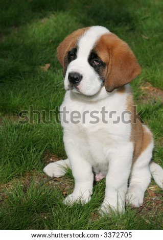 Saint Bernard Puppies on Purebred St Bernard Adorable Saint Bernard Purebred Find Similar