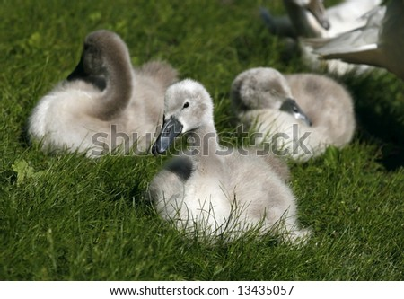 adorable swan cygnets sitting in grass