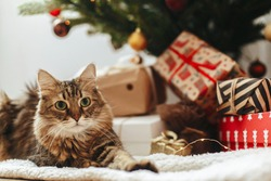 Adorable tabby cat sitting at wrapped gift boxes under christmas tree  with red and gold baubles. Cute Maine Coon relaxing in festive room. Merry Christmas! Pet and winter holidays