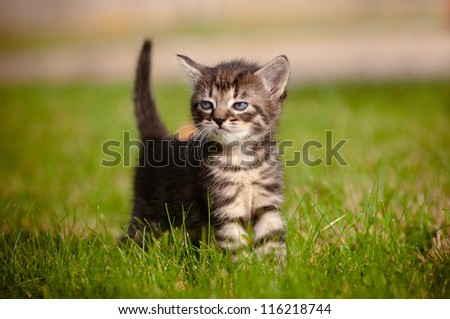 adorable tabby kitten outdoors
