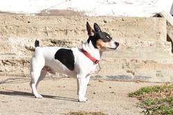Adorable Teddy Roosevelt Rat Terrier Dog on front sidewalk