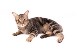 Adorable Thai American shorthair bobtail cat staring at stranger isolate background.
