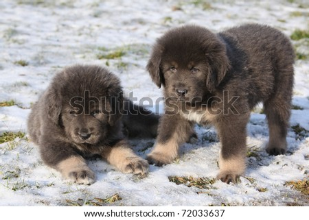 Adorable Tibetan Mastiff puppies