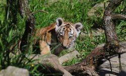 Adorable Tiger Cub exploring her enclosure