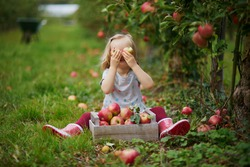 Adorable toddler girl picking red ripe organic apples in orchard or on farm on a fall day. Outdoor autumn activities for kids