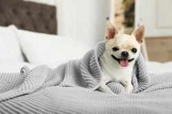 Adorable Toy Terrier wrapped in light blue knitted blanket on bed. Domestic dog