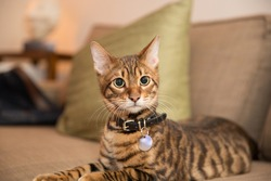 adorable toyger kitten with collar lying on couch in living room with pillow in background - striped cat