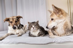 Adorable tranquil mixed breed dogs and cat looking aside while resting on bed covered white sheet in living room
