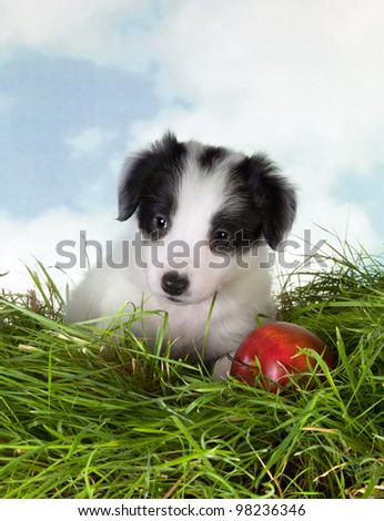 Adorable 5 week old border collie puppy on grass