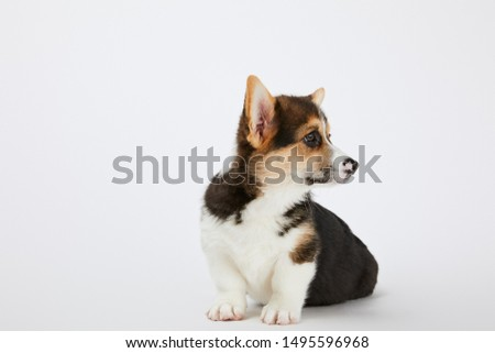adorable welsh corgi puppy looking away on white background #1495596968