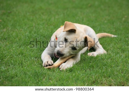 Adorable white dog chewing big bone on the green grass