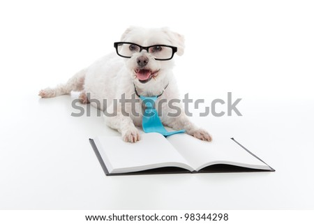 Adorable white dog lying in front of an open book, wearing black rim glasses and a blue tie and is studying or reading or learning, concept.  White background.