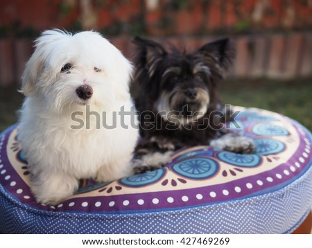 Adorable White Fluffy Maltese Puppy Dog and Yorkshire Terrier Friend Posing for Picture on Blue Pillow