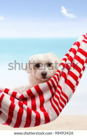 Adorable white maltese terrier relaxing in soft hammock sling by the beach in summer vacation.