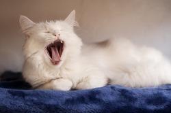 Adorable white Persian cat yawning
