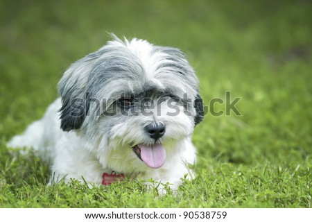 Adorable white smiling dog in the grass