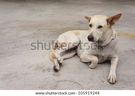 Adorable white young dog relaxing on the ground cement floor