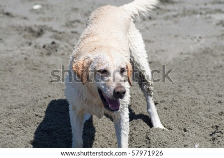 Adorable yellow Lab at the beach by the ocean shore on a sunny summer day.