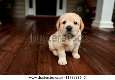 Adorable Yellow Lab Puppy Dogs on dark wooden floor #1199599543