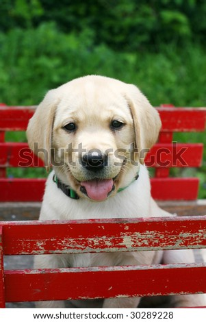 adorable yellow labrador puppy sitting in red cart