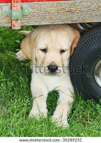 Yellow  Puppies on Stock Photo   Adorable Yellow Labrador Puppy Sitting Under Cart Next
