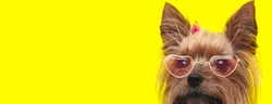 adorable yorkshire terrier dog wearing retro glasses and pink bow, looking to side and hiding on yellow background