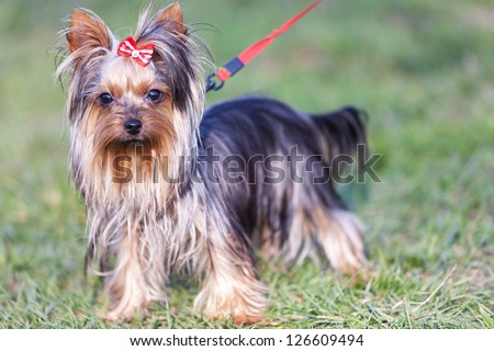 adorable yorkshire terrier on a leash looking at the camera - outdoor picture