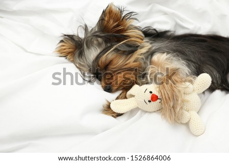 Adorable Yorkshire terrier sleeping with toy on bed. Cute dog #1526864006
