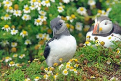 Adorable young Atlantic Puffin, or Puffling, posing for the camera watched by its parent on Skomer Island, West Wales, Pembrokeshire, United Kingdom