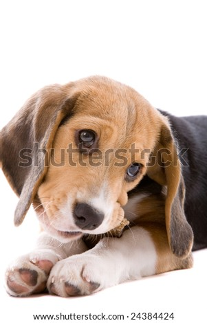 Adorable young beagle pup chewing on a bone