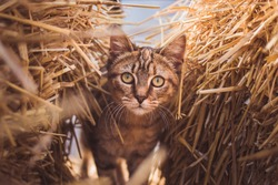 Adorable young brown cat peaks through hay stacks at a local farm