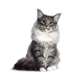 Adorable young Norwegian Forestcat, sitting facing front. Looking curious at lens. Isolated on white background.