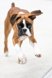 Adorable young purebred boxer puppy dog portrait with innocent eyes looking confused but alert