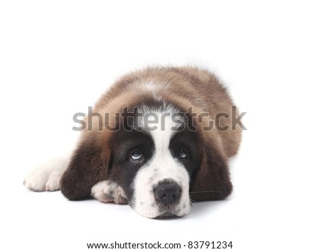 Adorable Young Saint Bernard Puppy on White Background