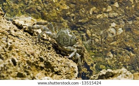 Adriatic coastal Crab - stock photo