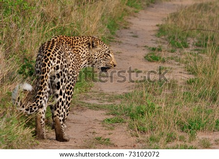 adult african leopard in Sabi Sand nature reserve, South Africa, back view