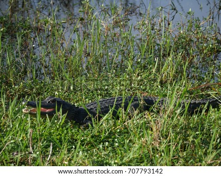 adult alligator hiding in the...